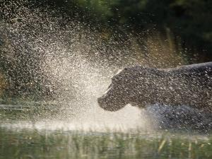 A Hippo Splashes into the Water by Nicole Duplaix