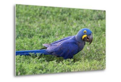 A Hyacinth Macaw, Anodorhynchus Hyacinthinus, Resting in the Grass