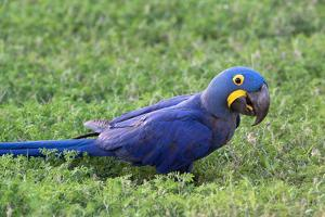 A Hyacinth Macaw, Anodorhynchus Hyacinthinus, Resting in the Grass by Nicole Duplaix