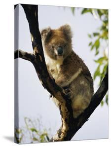 A Koala Bear Sits in a Tree by Nicole Duplaix