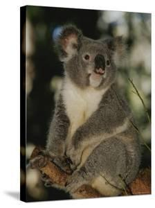 A Koala Clings to a Eucalyptus Tree in Eastern Australia by Nicole Duplaix