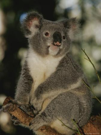 A Koala Clings to a Eucalyptus Tree in Eastern Australia