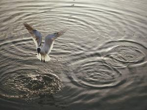 A Laughing Gull Fishes in Florida Bay by Nicole Duplaix