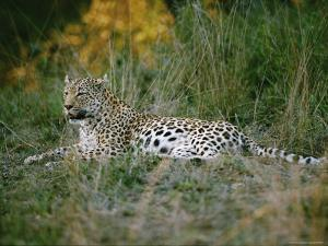 A Leopard Relaxes While Keeping a Lookout for Prey by Nicole Duplaix
