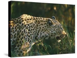 A Leopard Stalks its Prey by Nicole Duplaix