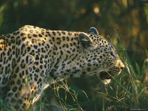 A Leopard Stalks its Prey by Nicole Duplaix