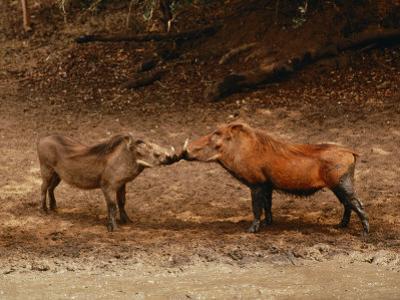 A Male and Female Warthog Rub Noses
