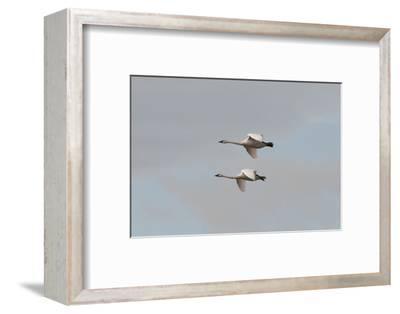A Pair of Trumpeter Swans, Cygnus Buccinator, in Flight