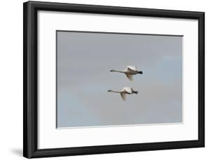 A Pair of Trumpeter Swans, Cygnus Buccinator, in Flight by Nicole Duplaix