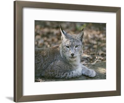 A Portrait of a Captive European Lynx