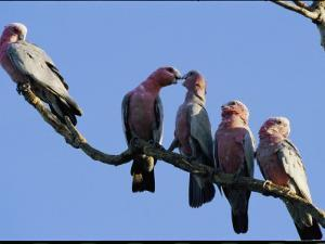 A Row of Galah Cockatoos Perched on a Small Tree Branch by Nicole Duplaix