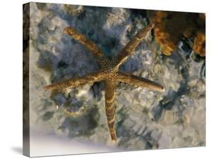 A Starfish in a Tide Pool on Australias Great Barrier Reef by Nicole Duplaix
