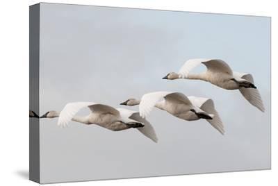 A Trio of Trumpeter Swans, Cygnus Buccinator, in Flight