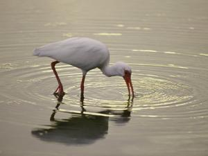 A White Ibis Sticks His Beak in the Water Looking for a Meal by Nicole Duplaix