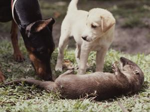 A Young South American River Otter is Investigated by Two Dogs by Nicole Duplaix