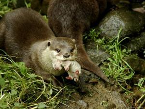 Adult Asian Short-Clawed River Otter Carries a Newborn by Nicole Duplaix