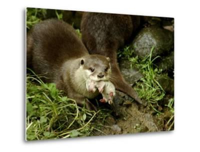 Adult Asian Short-Clawed River Otter Carries a Newborn