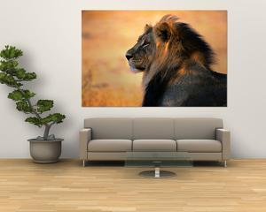 Adult Male African Lion by Nicole Duplaix