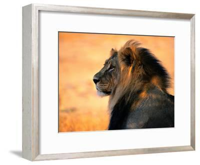 An Adult Male African Lion, Panthera Leo