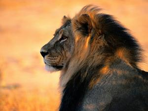 An Adult Male African Lion, Panthera Leo by Nicole Duplaix