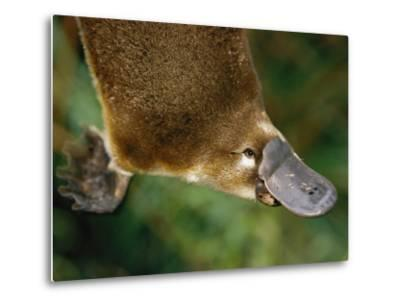 An Elevated View of a Platypus Featuring its Bill