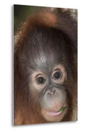 An Infant Bornean Orangutan, Pongo Pygmaeus, in Sabah