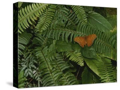 An Orange Leopard Butterfly Rests on Green Leafy Ferns