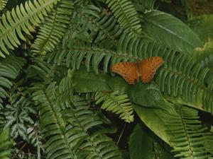 An Orange Leopard Butterfly Rests on Green Leafy Ferns by Nicole Duplaix