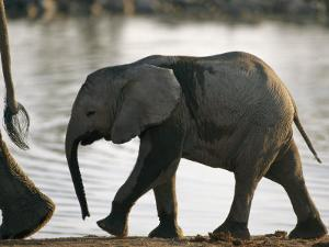 Baby Elephant Follows after its Mother by Nicole Duplaix