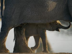 Baby Elephant Seen Beneath an Adult by Nicole Duplaix
