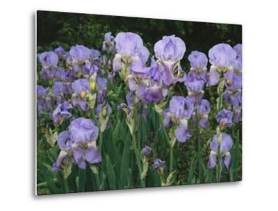 Bed of Irises, Provence Region, France
