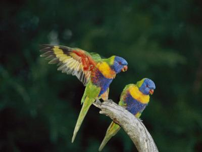 Brightly Colored Lorikeets Perch on a Branch