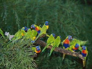 Brightly Colored Lorikeets Perch on a Tree Branch by Nicole Duplaix