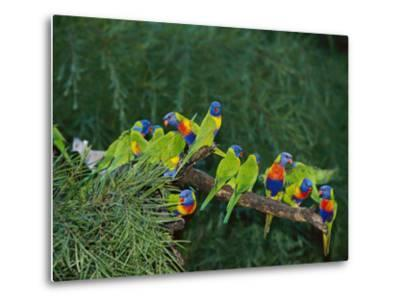 Brightly Colored Lorikeets Perch on a Tree Branch