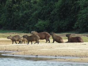 Capybaras Walk on the Shoreline of the Rio Negro by Nicole Duplaix