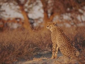 Cheetah by Nicole Duplaix