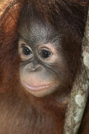 Close Up of a Bornean Orangutan, Pongo Pygmaeus