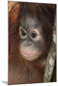 Close Up of a Bornean Orangutan, Pongo Pygmaeus by Nicole Duplaix