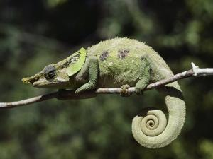 Close View of a Chameleon by Nicole Duplaix