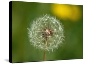 Close View of a Dandelion Gone to Seed by Nicole Duplaix
