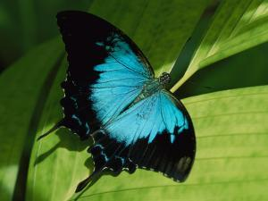 Close View of a Ulysses Butterfly by Nicole Duplaix