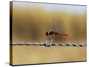 Close View of an Insect Perched on Barbed Wire by Nicole Duplaix