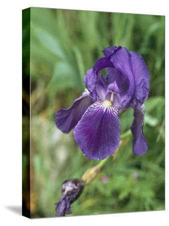 Close View of an Iris