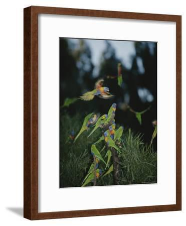 Colorful Rainbow Lorikeets Vie for a Spot on a Perch
