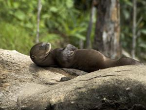 Giant River Otter Rests on a Log at Lake Balbina by Nicole Duplaix
