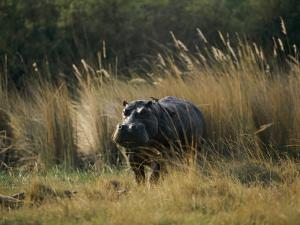 Hippo in the Grass by Nicole Duplaix
