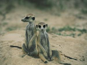 Meerkats Pose for the Camera by Nicole Duplaix