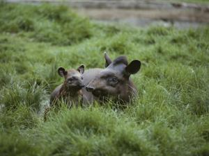 Mother and Juvenile Brazilian Tapirs in the Marsh Grass by Nicole Duplaix