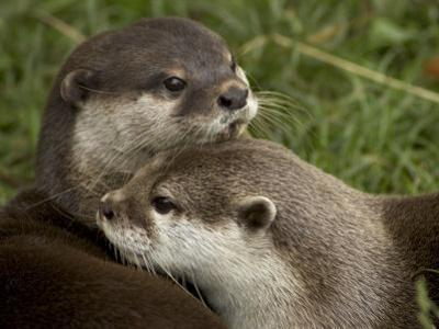 Pair of Mated Asian Short-Clawed River Otters Show Affection by Nicole Duplaix