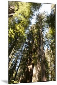 Redwood Trees Growing in a Forest by Nicole Duplaix
